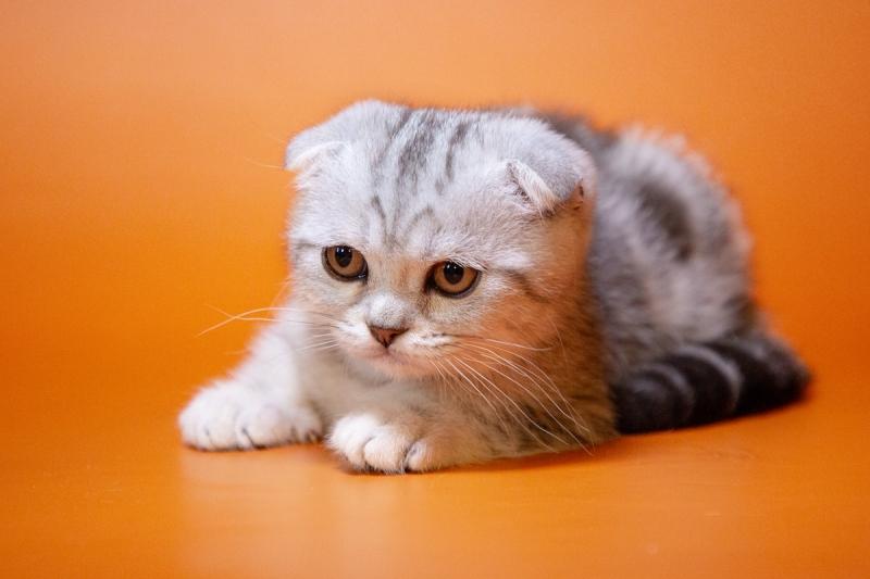 Великолепные шотландские котята из профессионального питомника